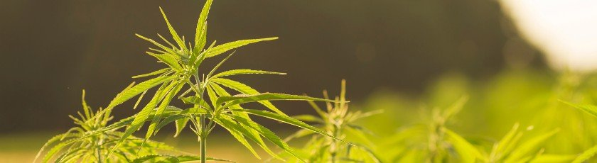 Cannabis plants growing outdoors in a rural area