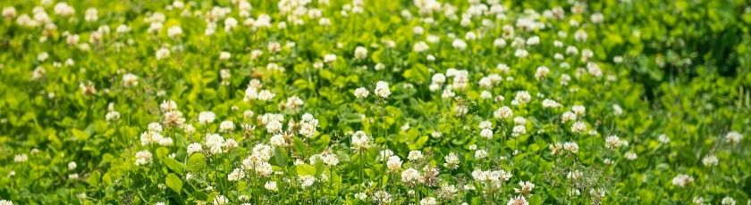 A field of white clover plants