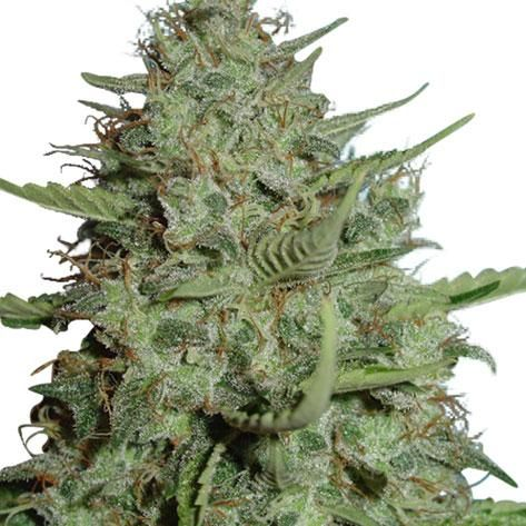 most exotic cannabis strains