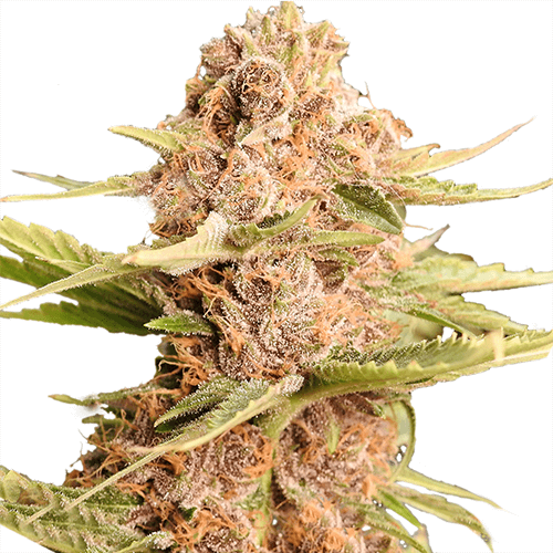 girl-scout-cookies-extreme-seeds