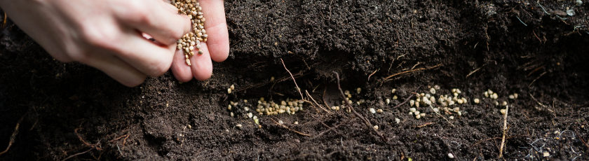 Sowing Cannabis Seeds