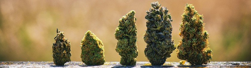 Five different strains of marijuana buds on a flat wooden surface